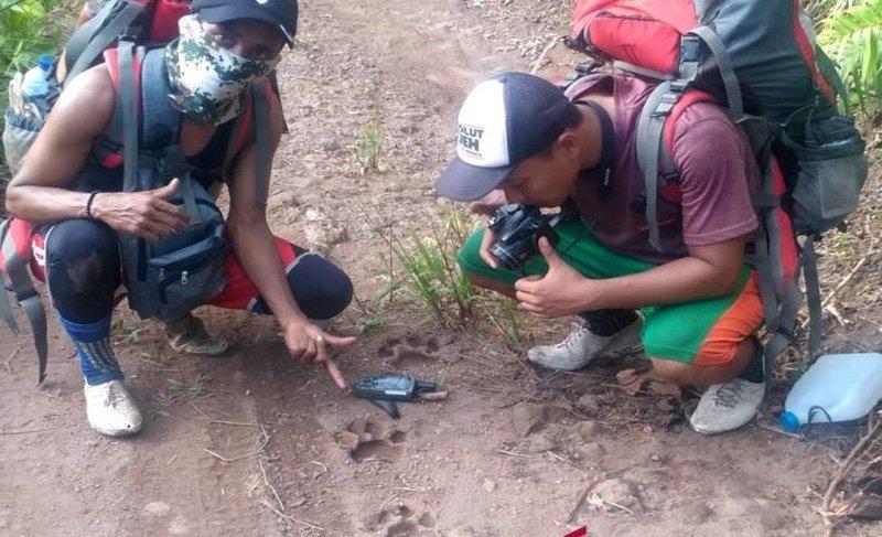 Ditemukan Jejak Harimau Dewasa di Kampar